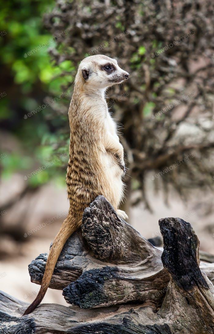 Meerkat or Suricate.
