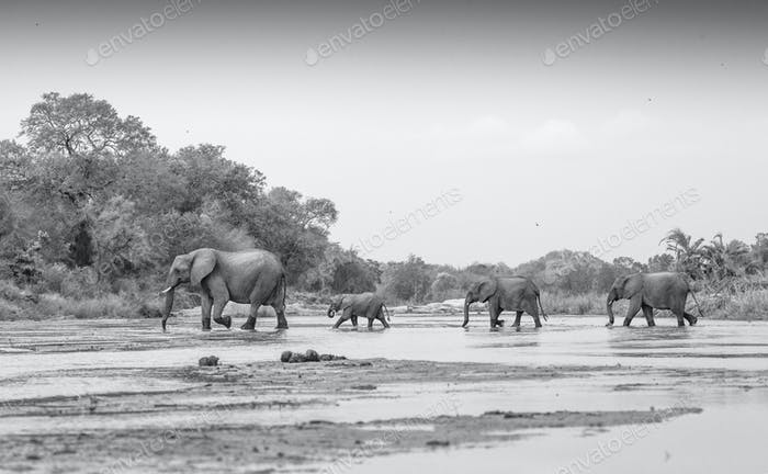 Loxodonta africana, Elephanth herd crossing Sand River.