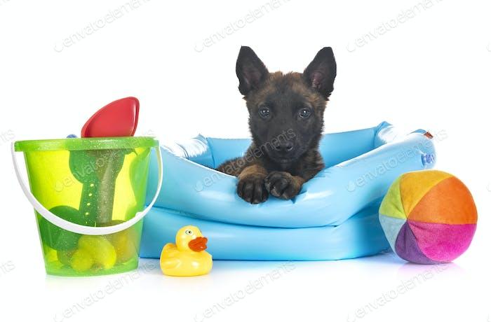 puppy belgian shepherd