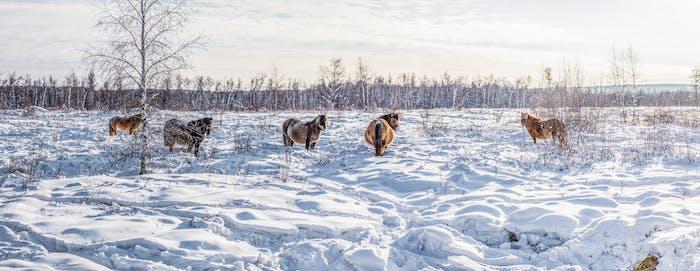schöne braune Pferde, die im Schnee spazieren gehen, Jakutien