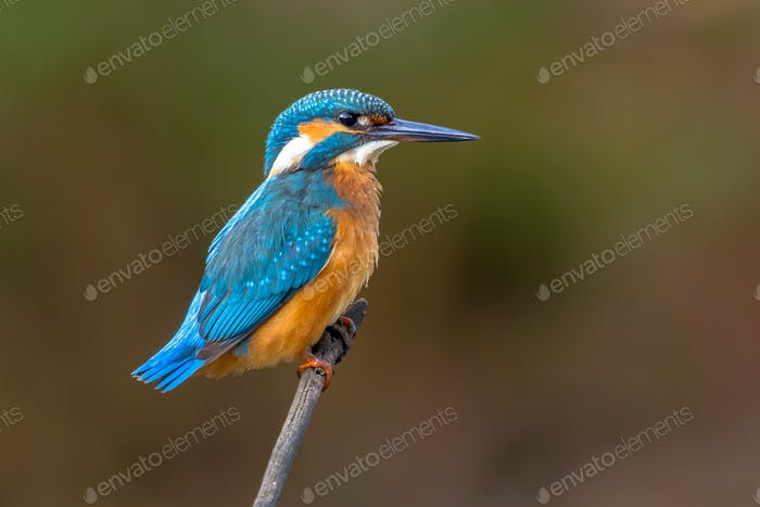 Common European Kingfisher wet