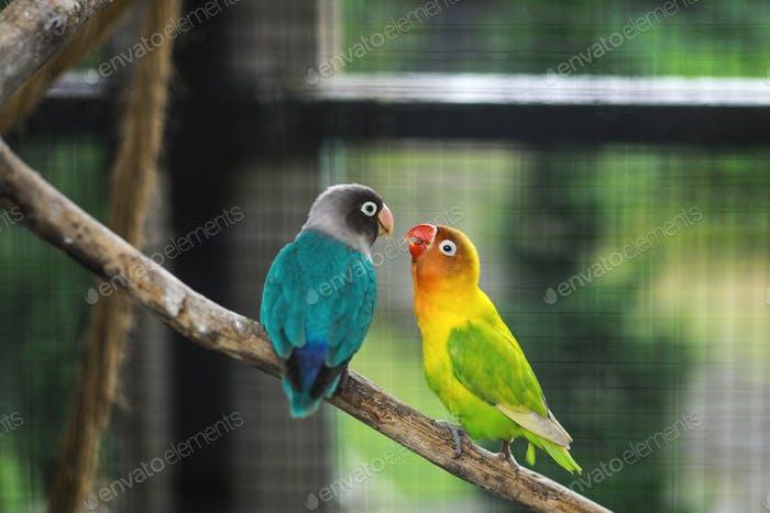 Lovebird Couple
