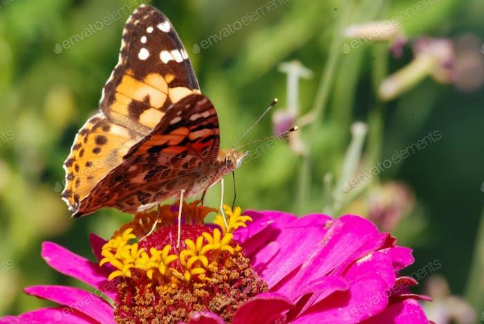 Schmetterling sammelt Nektar