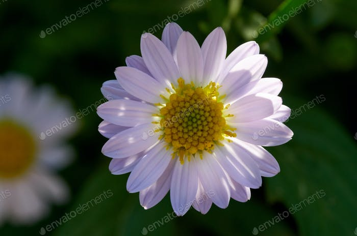Close-up the daisy flower