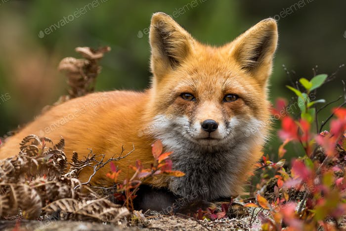 Red Fox - Vulpes vulpes, close-up portrait. Laying down in the colorful fall vegetation.