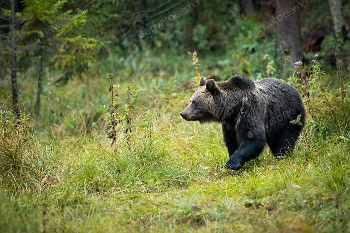 Brown bear standing on the clearing in the middle of the forest