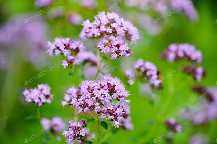 Origanum vulgare medicinal herb on natural background.