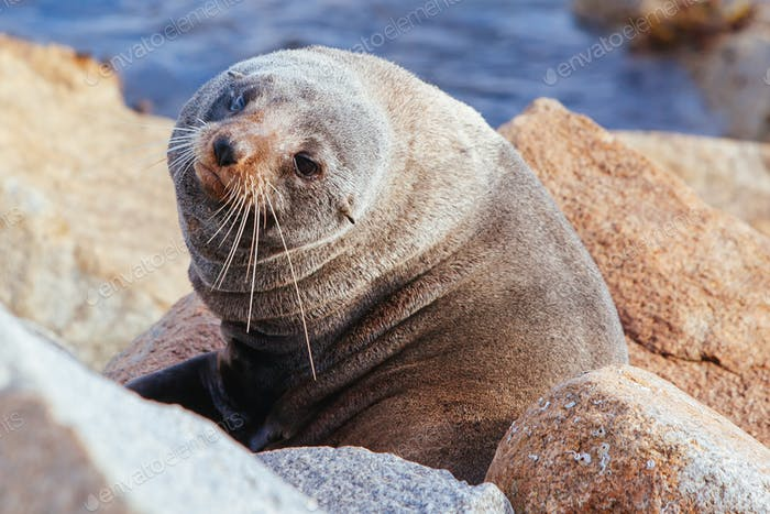 Seal in Narooma Inlet Australia