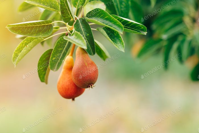 Ripe pears on the branch