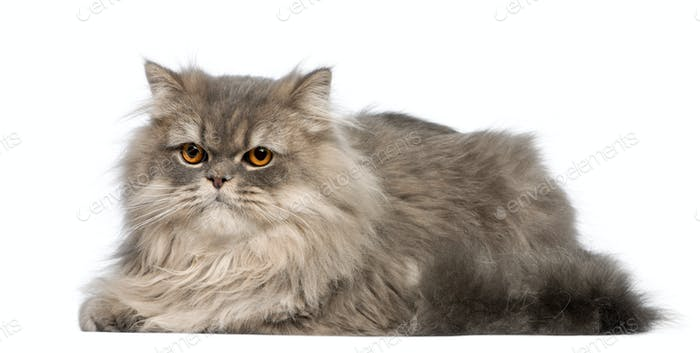 Grey cat lying in front of white background