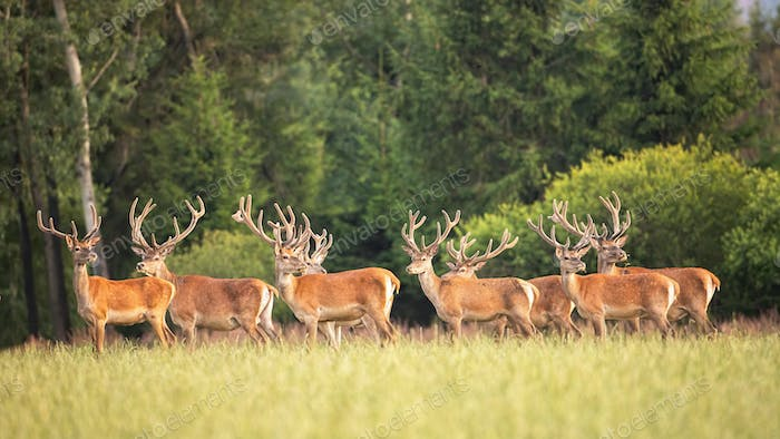 Majestic red deer stags with growing antlers in velvet standing on meadow