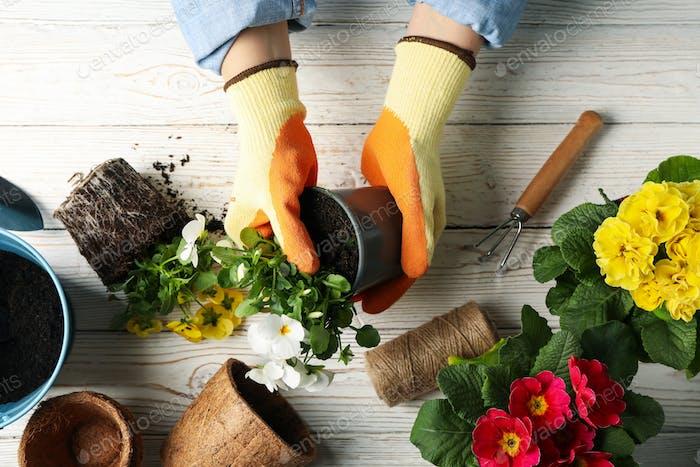 Person hält Topf auf Holzuntergrund mit Gartengeräten, Draufsicht