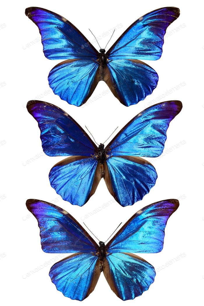 three blue morpho