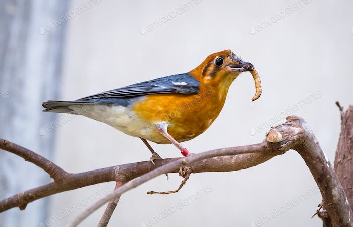 Orange-headed Thrush With a Mealworm
