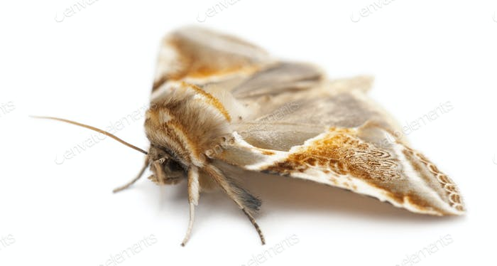 Thumbnail for Buff Arches, Habrosyne pyritoides, a moth against white background