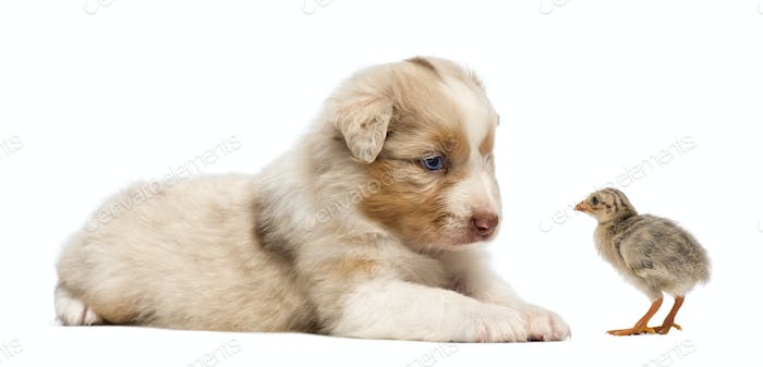 Australian Shepherd puppy, 30 days old, lying and looking at a chick against white background