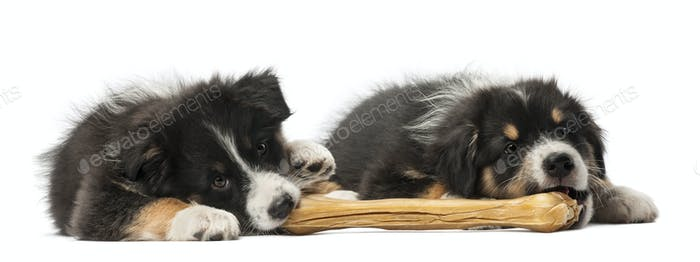 Two Australian Shepherd puppies, 2 months old, lying and