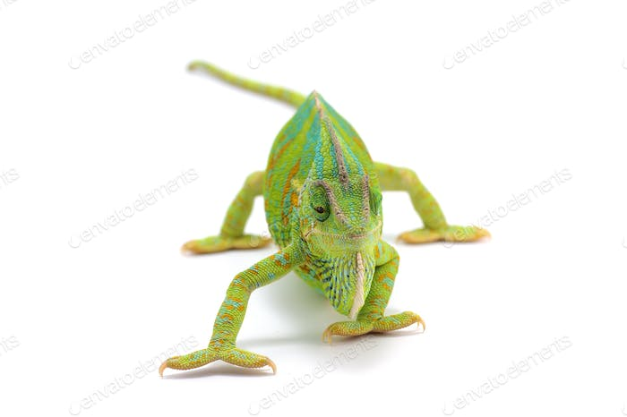 Veiled Chameleon isolated on white background