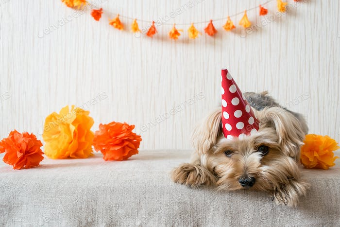 Sad Yorkshire Terrier (Yorkie) Dog in red party hat cap lies on table on the background of festive