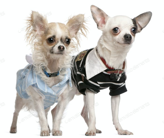 Chihuahua couple dressed up, 1 year old, standing in front of white background