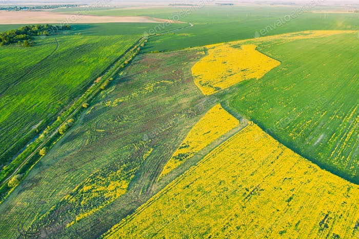 Natural Green Field With Trails Lines In Blooming Canola Yellow Flowers. Top View Of Rape Plant