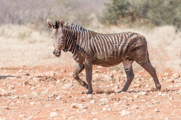 Schlammiges Hartmann Mountain Zebra