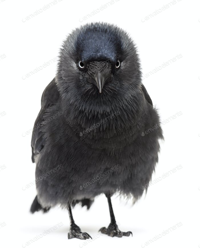 Western Jackdaw portrait, Corvus monedula, (or Eurasian , or European  or simply)