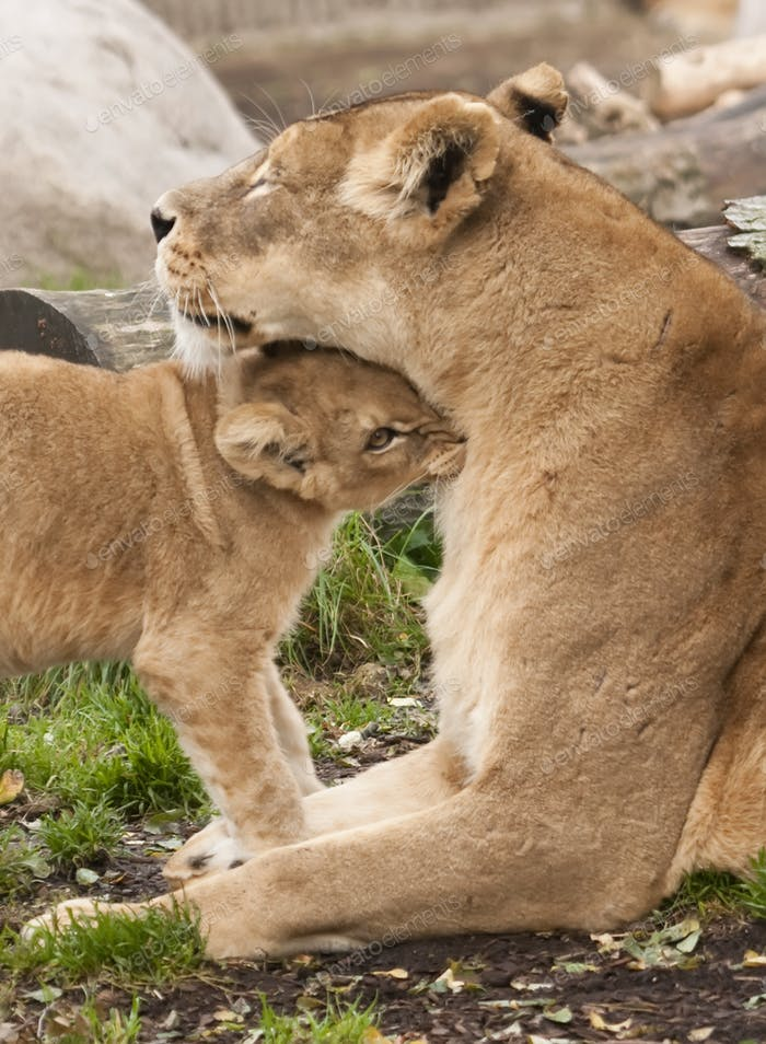 Female Lion with Young