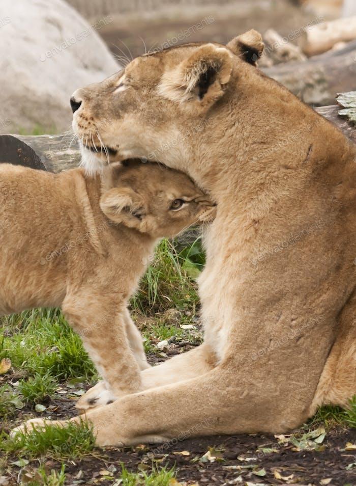 Weiblich Löwe mit Jung