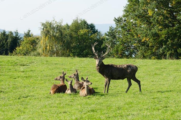European red deer group on a green meadow