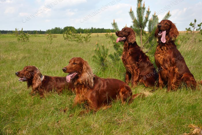 Pack of Irish setters