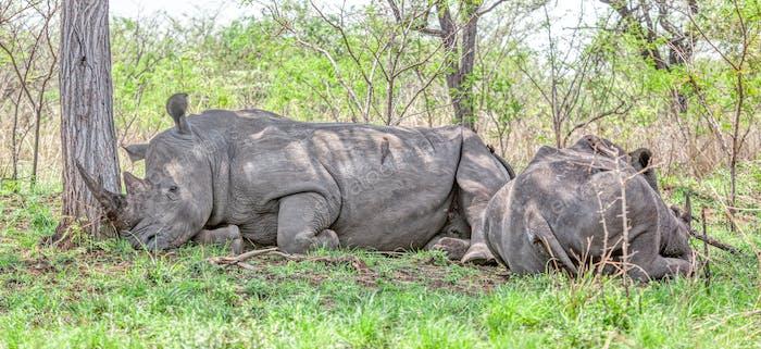 White Rhinos Resting in Kruger Park
