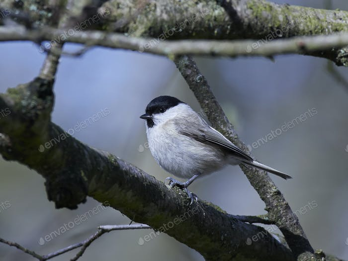 Thumbnail for Marsh tit (Poecile palustris)