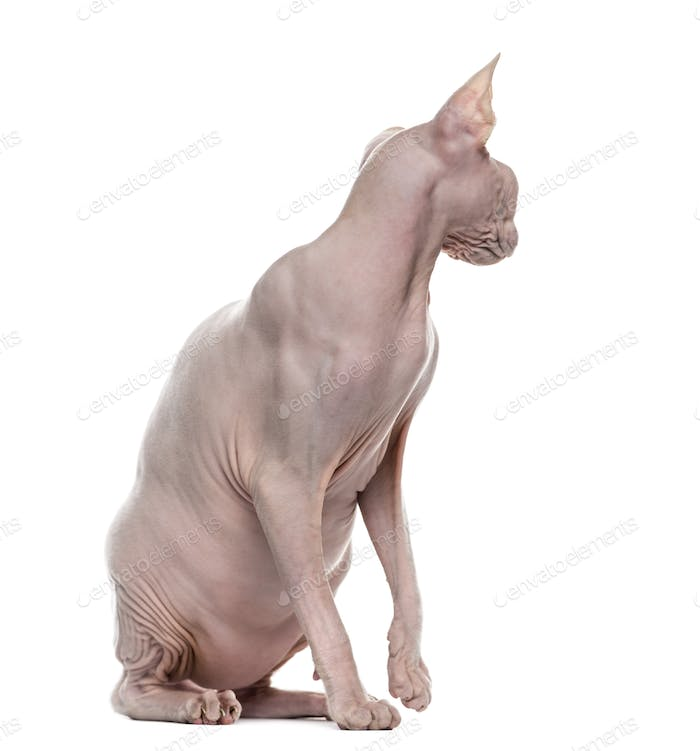 Sphynx looking back