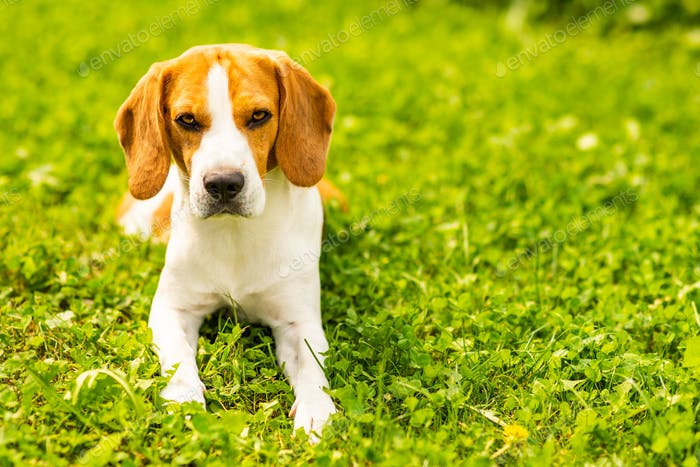 Beagle dog lying down on grass. Canine background. Copy space