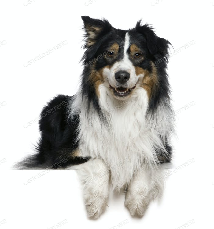 Australian Shepherd dog, 2 years old, in front of white background