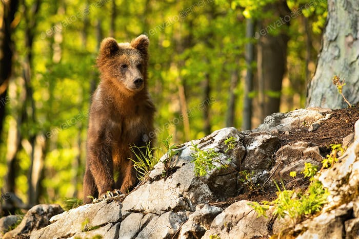 Young brown bear standing in forest with sunlight
