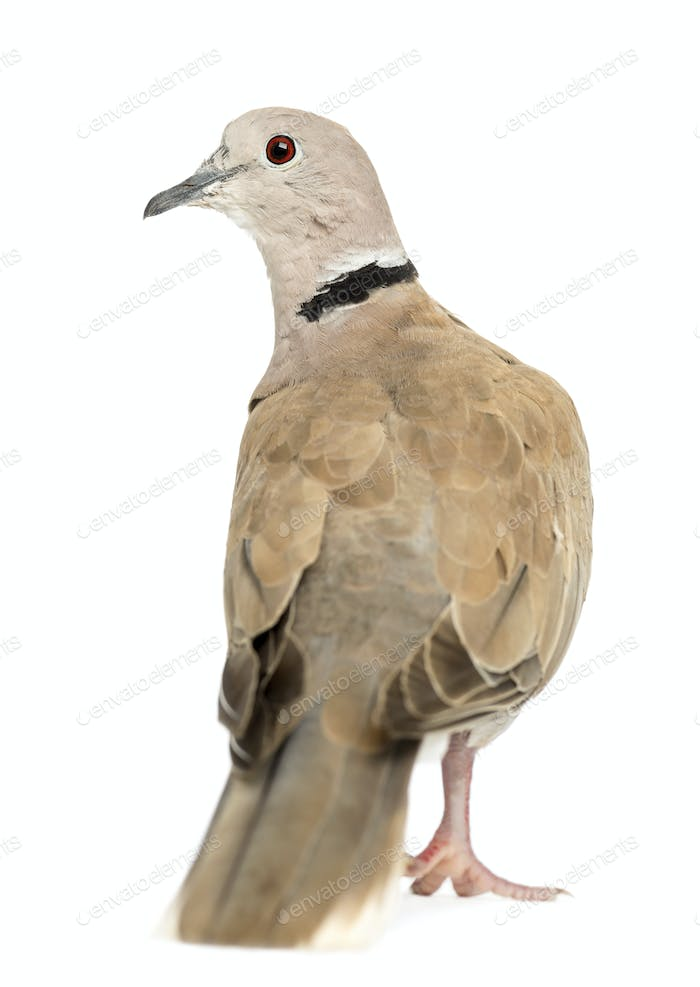 Rear view of Eurasian Collared Dove, Streptopelia decaocto, often called the Collared Dove