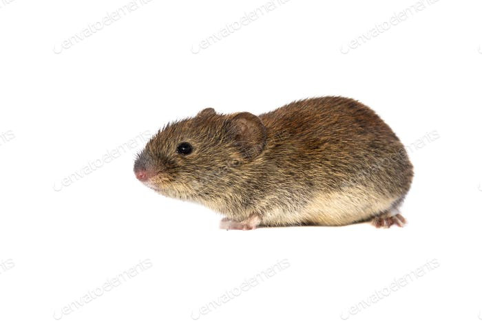 Bank vole on white background