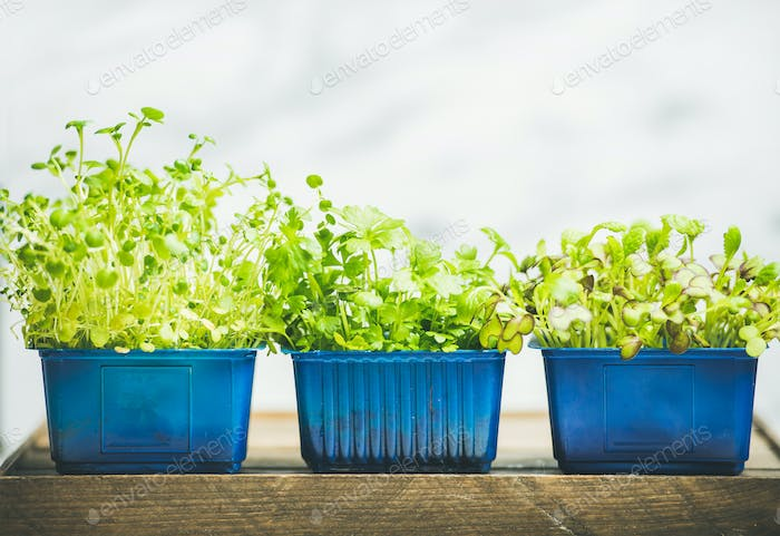 Radish kress, water kress and coriander sprouts in blue pots