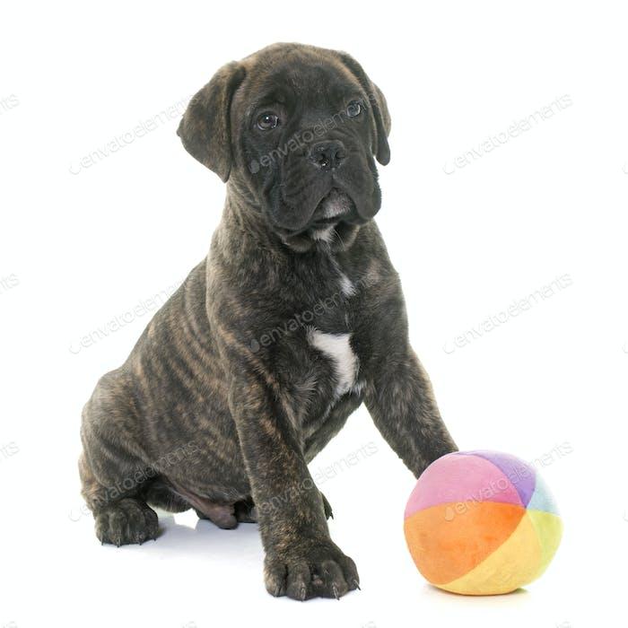 puppy bull mastiff playing
