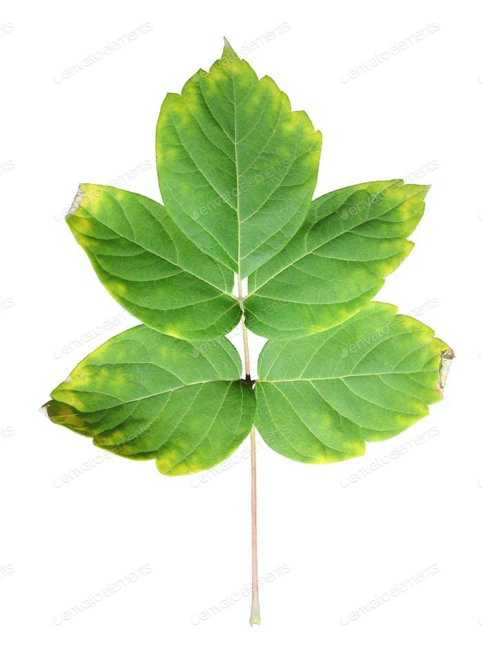Nahaufnahme des Herbstblattes auf weiß