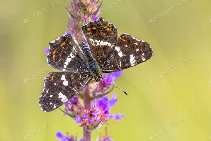 Map Butterfly on purple flower