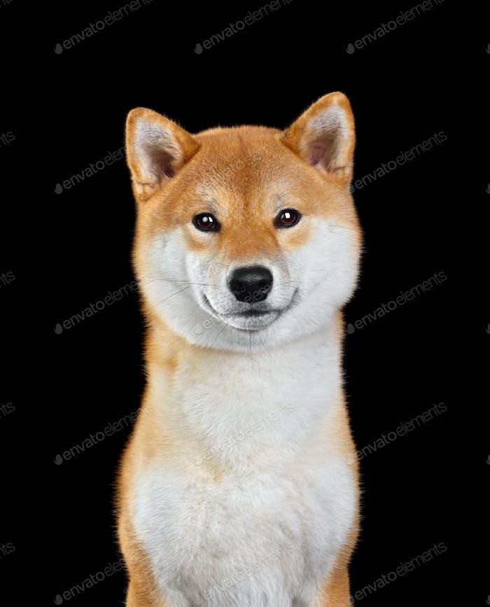 Cute Shiba Inu dog