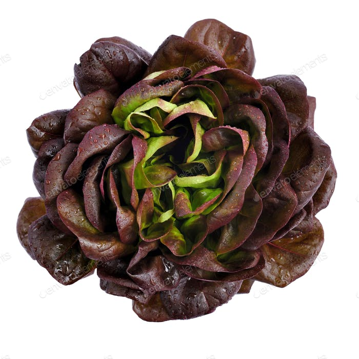 Lettuce variety 'oak leaf', whole with water droplets. Fresh red