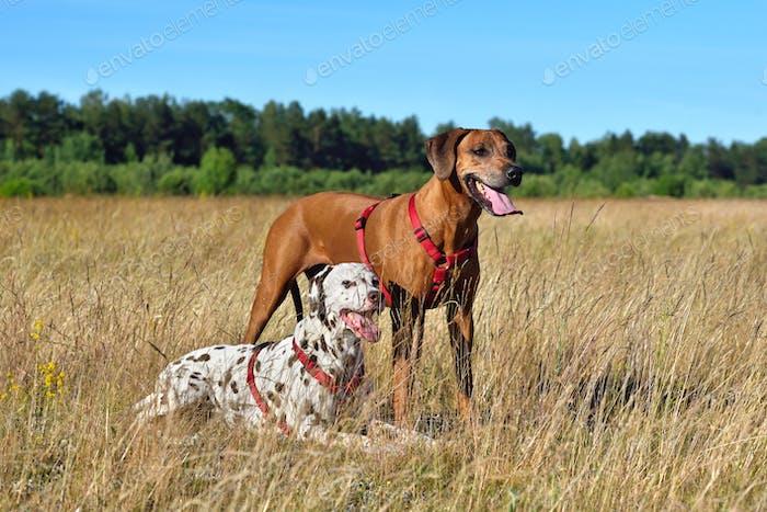 Zwei Hunde auf einem Feld