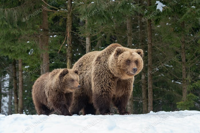 Bears family goes through the forest