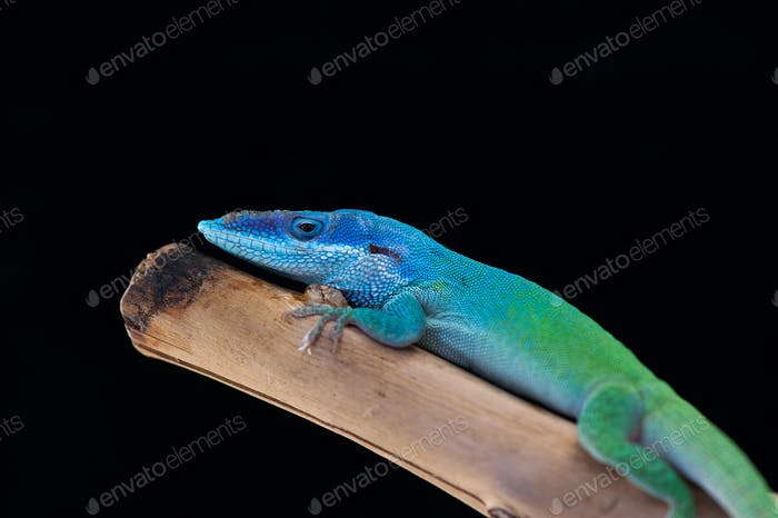 color lizard anolis isolated on black background