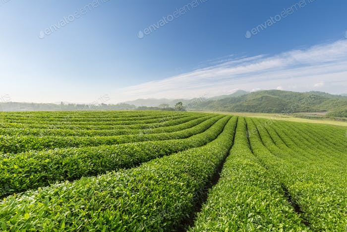 beautiful tea plantation landscape
