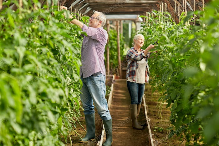 senior couple working at farm greenhouse